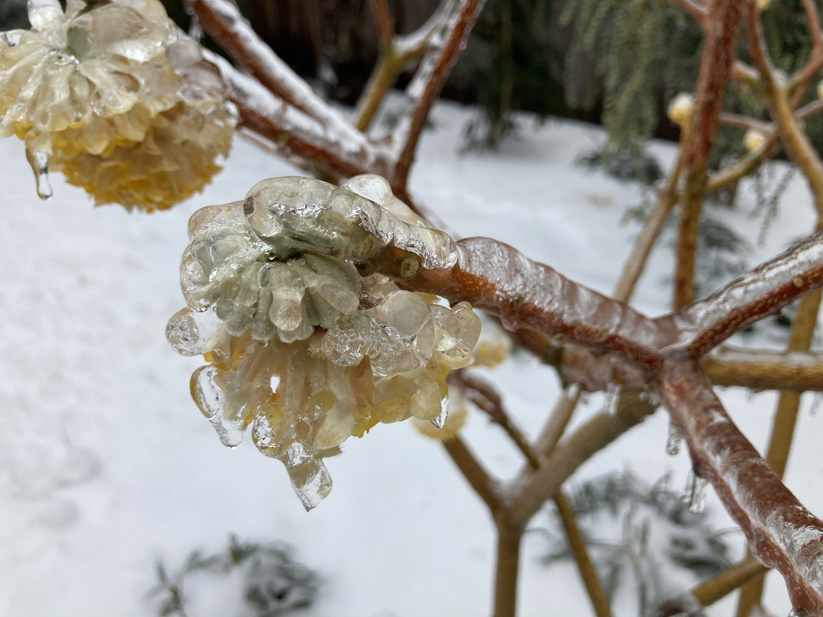 Closeup of layer of ice on plants